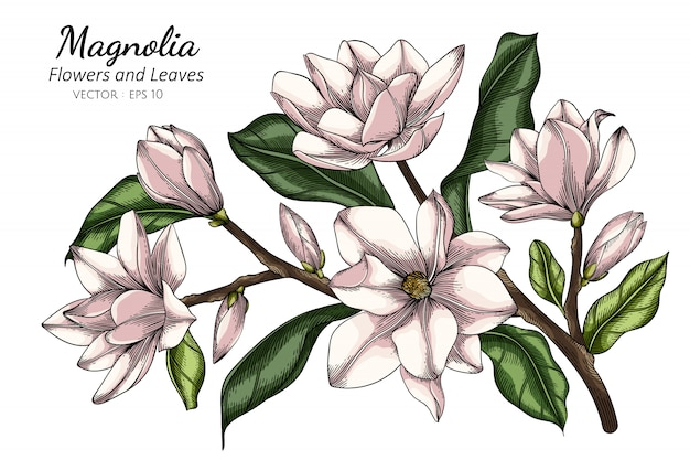 White magnolia flower and leaf drawing illustration with line art on white backgrounds.