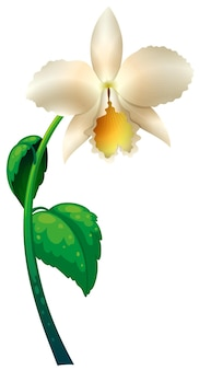 White orchid with green stem