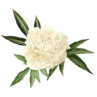 Белый пион цветок с листьями