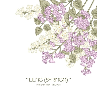 White and purple syringa vulgaris (common lilac) flower drawings.