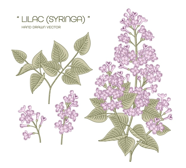 White and purple syringa vulgaris (common lilac) flower hand drawn botanical illustrations.