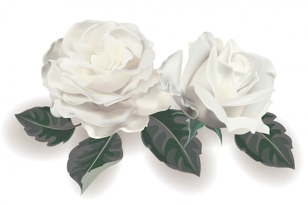 White rose realistic vector illustration