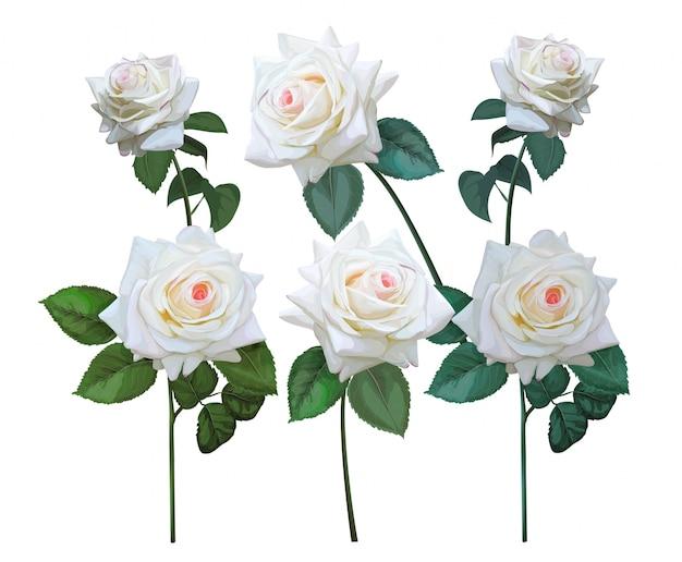꽃의 흰 장미 세트