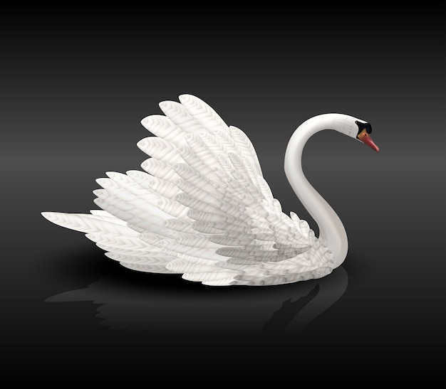 White swan on black water with reflection in shadows and reflection