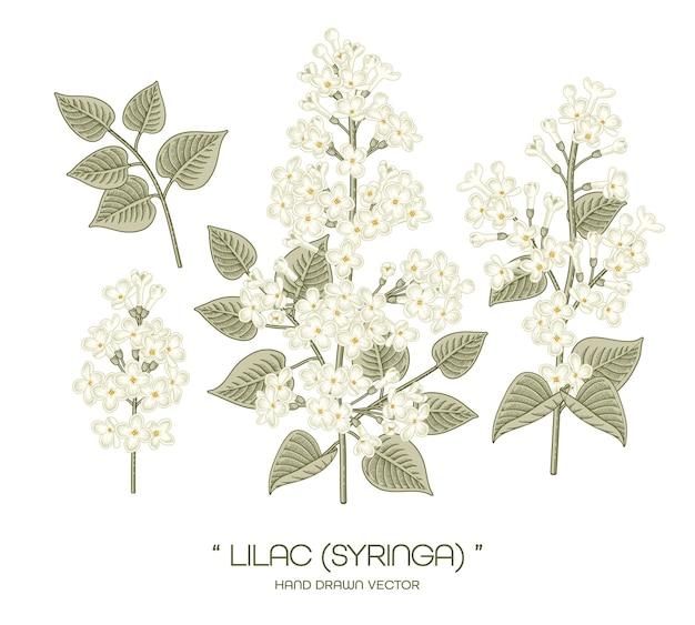 White syringa vulgaris (common lilac) flower hand drawn botanical illustrations.