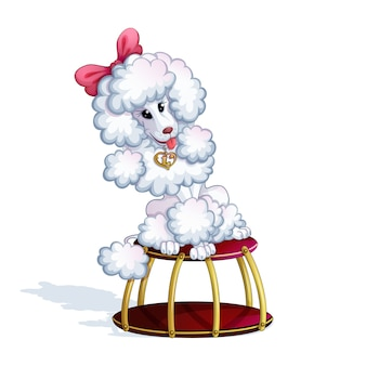 A white trained poodle girl sits on a circus stand.