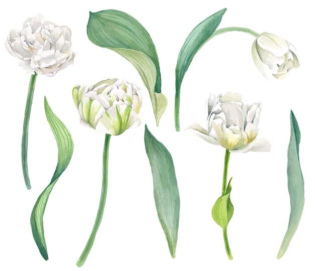 明るい水彩画の葉を持つ白いチューリップ