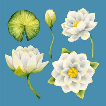 White water lily flowers, bud, leaf. set of botanical cliparts with flowering plants