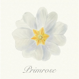 White watercolor primrose isolated