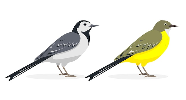 White and yellow wagtail birds drawings isolated on white background.