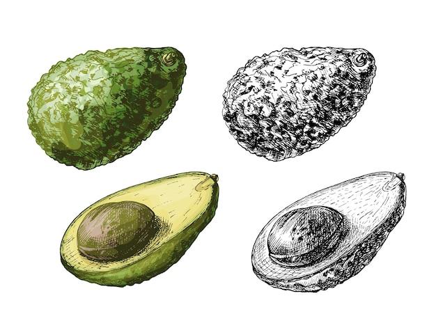 씨앗과 전체 및 절반 아보카도입니다. 벡터 색상 빈티지 해칭 그림 흰색 배경에 고립.