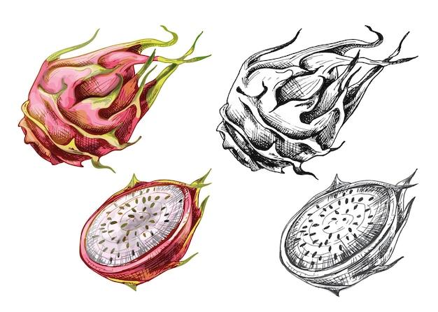 Целые и половинки драконьих фруктов. векторные винтажные штриховки цветные иллюстрации. изолированные на белом фоне. рисованный дизайн