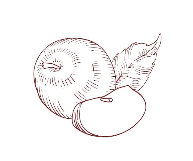 전체 사과 및 슬라이스 현실적인 벡터 일러스트 레이 션. 흰색 배경에 잎이 분리된 클립 아트가 있는 원시 과일 수확. 유기농 및 에코 제품. 잘 익은 사과 조각 손으로 그린 디자인 요소입니다.