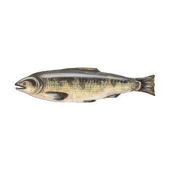 Лосось целиком из свежей рыбы. винтаж вектор штриховки цвет рисованной иллюстрации, изолированные на белом фоне