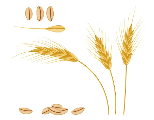 Whole stalks, wheat ears spikelets with seeds. bakery pastry cereals. oat bunch with grains. vector illustration in flat style