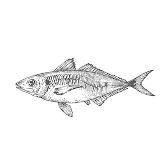 Wild atlantic scad hand drawn doodle vector illustration. abstract fish sketch. engraving style drawing. isolated.