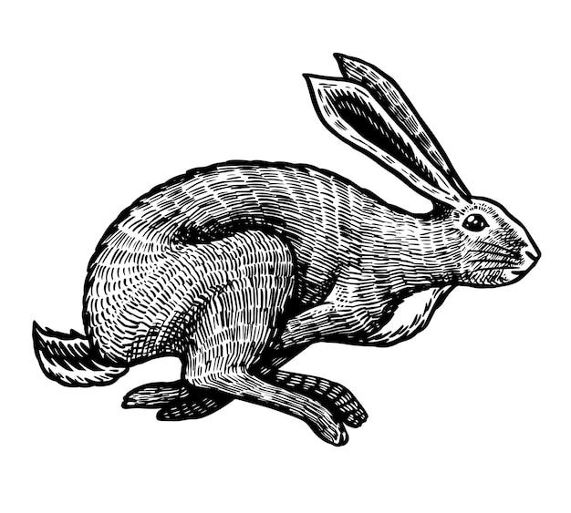 Дикий заяц, изолированные на белом фоне