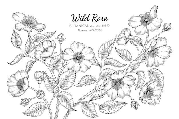 야생 장미 꽃과 잎 손으로 흰색 배경에 라인 아트와 식물 그림을 그려.