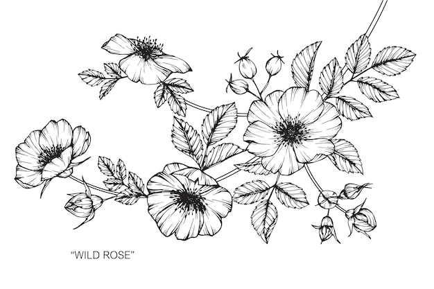 야생 장미 꽃 그림 그리기입니다.