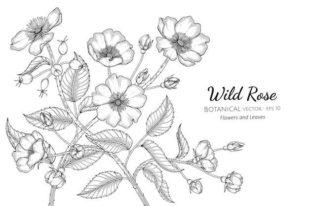 Wild rose flower and leaf hand drawn botanical illustration.