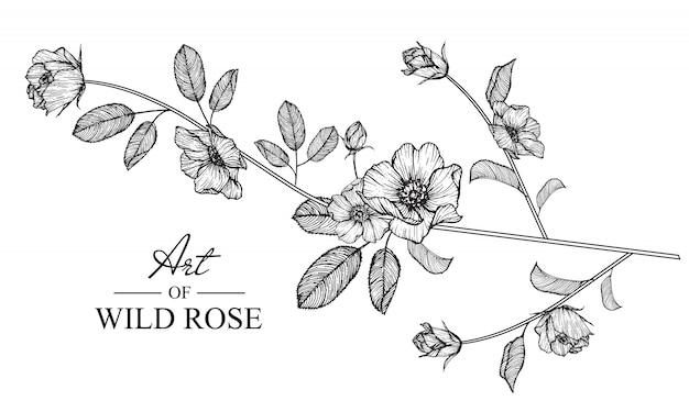 Wild rose leaf and flower drawings. vintage hand drawn botanical illustrations. vector.