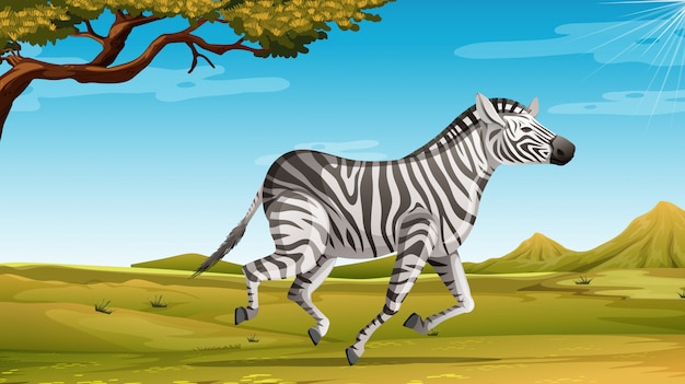 Wild zebra running alone in the savannah field