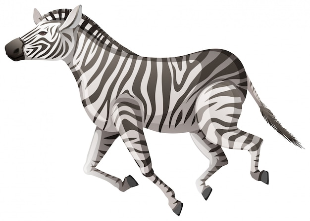 Wild zebra running on white