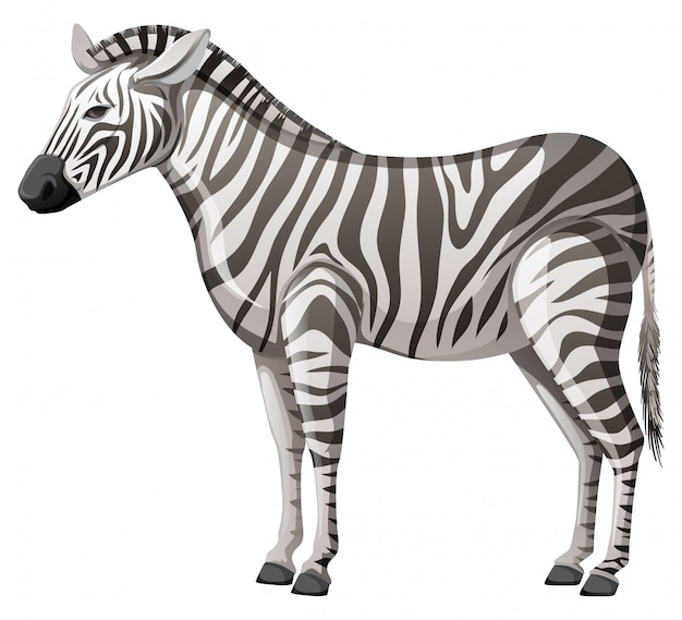 Wild zebra standing alone on white background