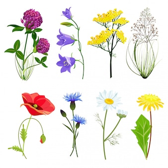 Wildflowers and herbs, botanical set with anise meadow buttercup collection in cartoon style