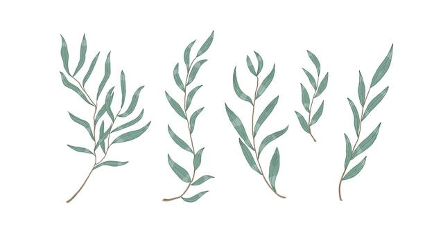 Ветви эвкалипта ивы с листьями векторные иллюстрации. ботанические элементы дизайна. монохромные реалистичные ветки деревьев на белом фоне. декоративные рисованной вечнозеленые сучья кустарника.