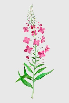 Willowherb in vintage style
