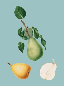 Winter citron from pomona italiana illustration