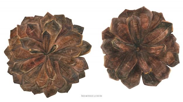 Зимние сосновые шишки, акварель