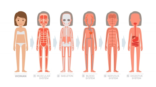 Woman anatomy system and structure of human body.