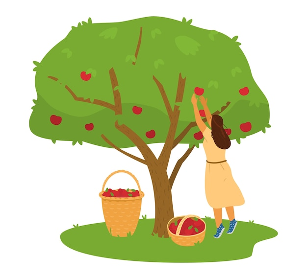 Женщина-фермер собирает урожай яблок с яблони в корзину иллюстрации.