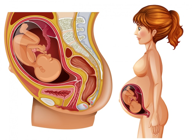 Woman and pregnancy diagram