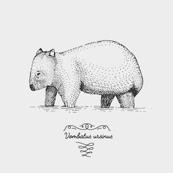 Wombat 새겨진 목 판 Scratchboard 스타일, 빈티지 드로잉 종 손으로 그린 그림. 프리미엄 벡터