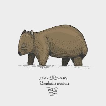 Wombat juvenile vombatus ursinus engraved, hand drawn illustration