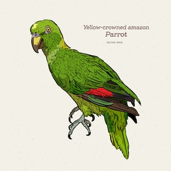 The yelloe crowned amazon parrot, hand draw sketch