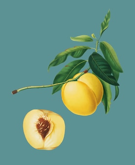 Yellow Apricot from Pomona Italiana illustration
