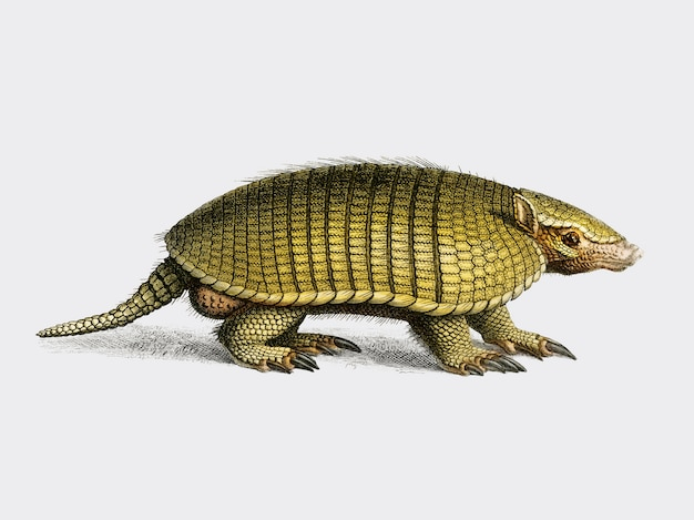 Yellow armadillo (euphractus sexcinctus) illustrated by charles dessalines d orbigny