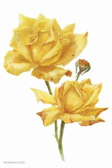 黄色い秋のバラの植物のトレースされた水彩画