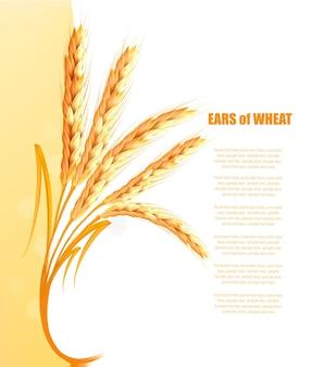 Желтый фон с колосьями пшеницы. вектор.
