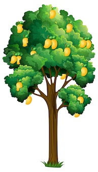 Albero di mango giallo isolato su bianco