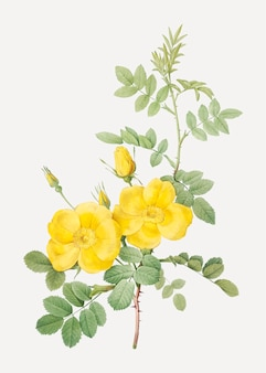 Yellow sweetbriar roses