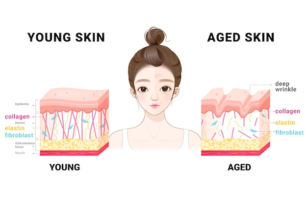 Young and aged skin. collagen in younger and older skin.