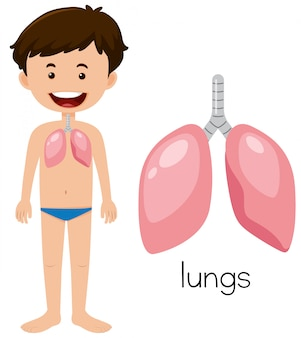 A young man with lungs anatomy