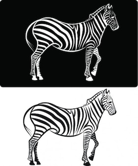 Zebra from side view on black and white backgrounds