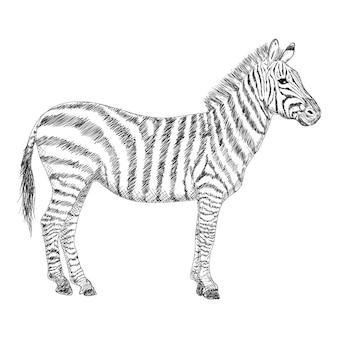 Zebra illustration, hand drawn design