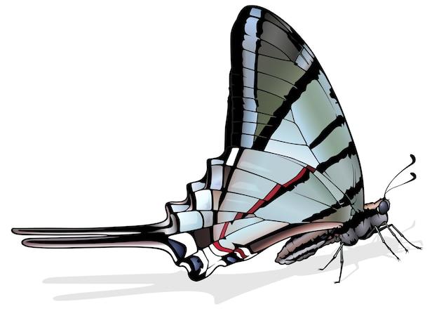Зебра махаон бабочка protographium marcellus